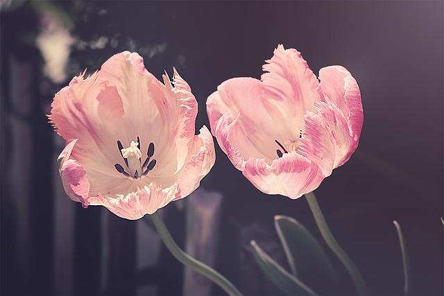 Zwei rosafarbene Tulpen